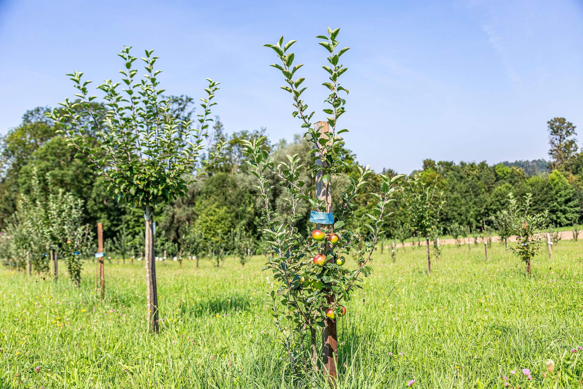 Lackner Hofkellerei Obstbaum Aepfel Walding