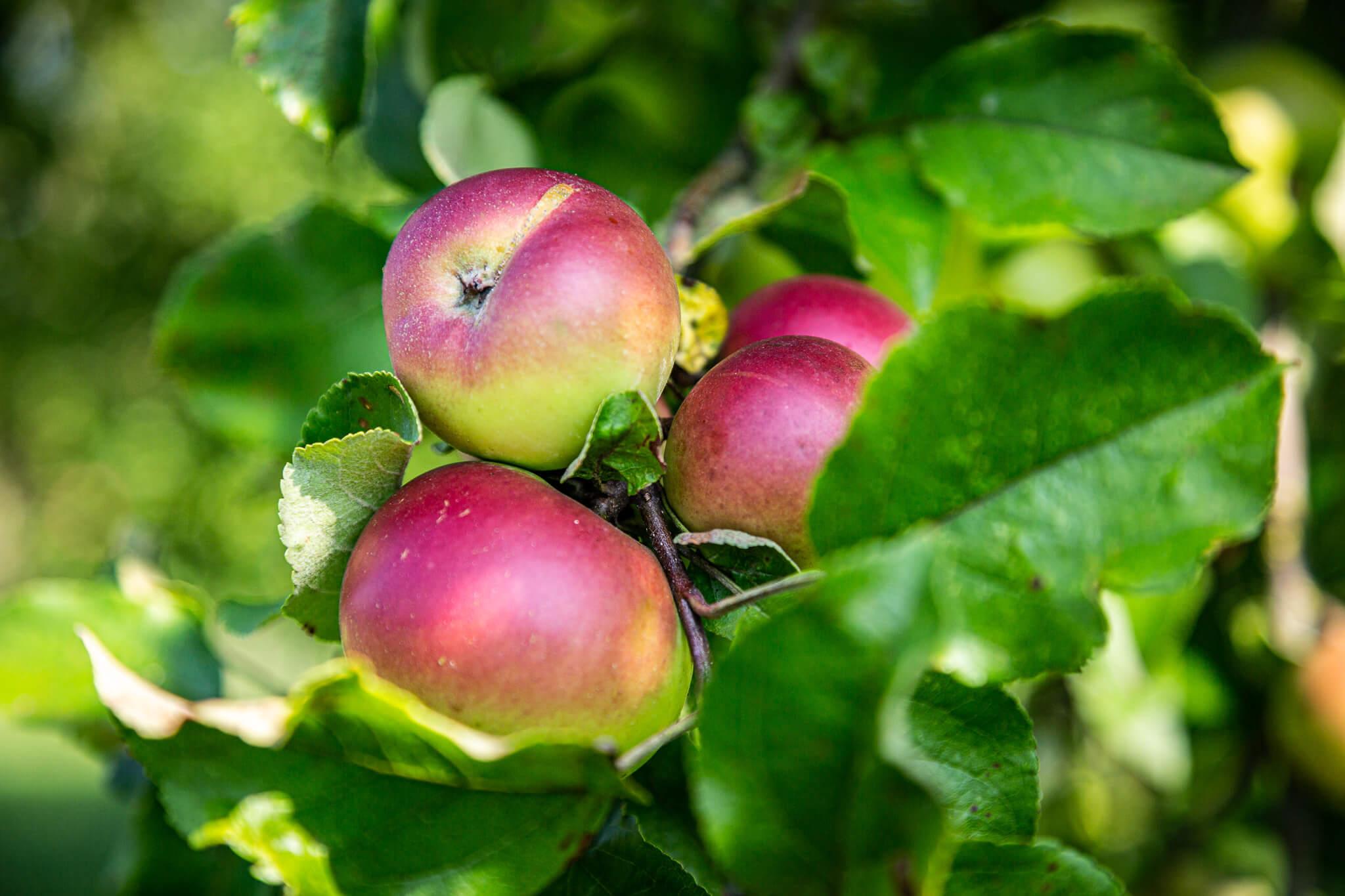 Hofkellerei Lackner Walding Obst Anbau Bio